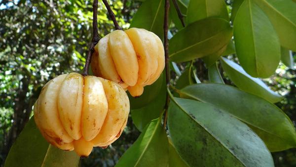 Fruit de Garcinia cambodia